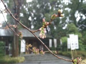 桜が咲いてきました!