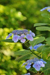 境内では「額紫陽花」がきれいに咲いています