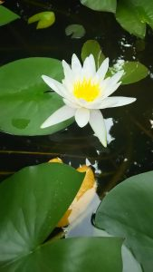 水蓮の花(*^_^*)