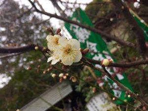 平成最後の梅の花 開花報告