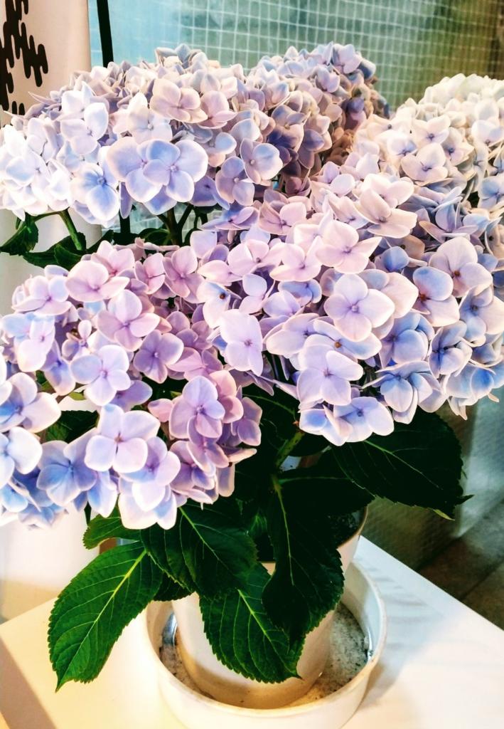 紫陽花が満開です