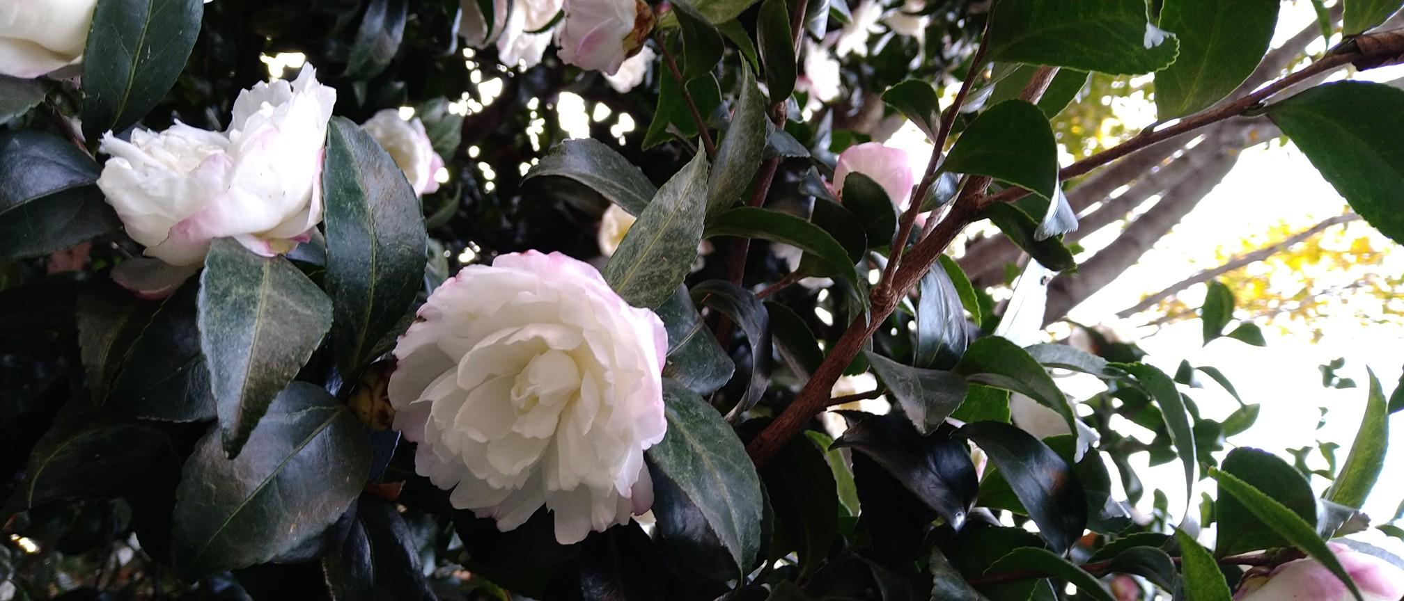 山茶花が咲きました